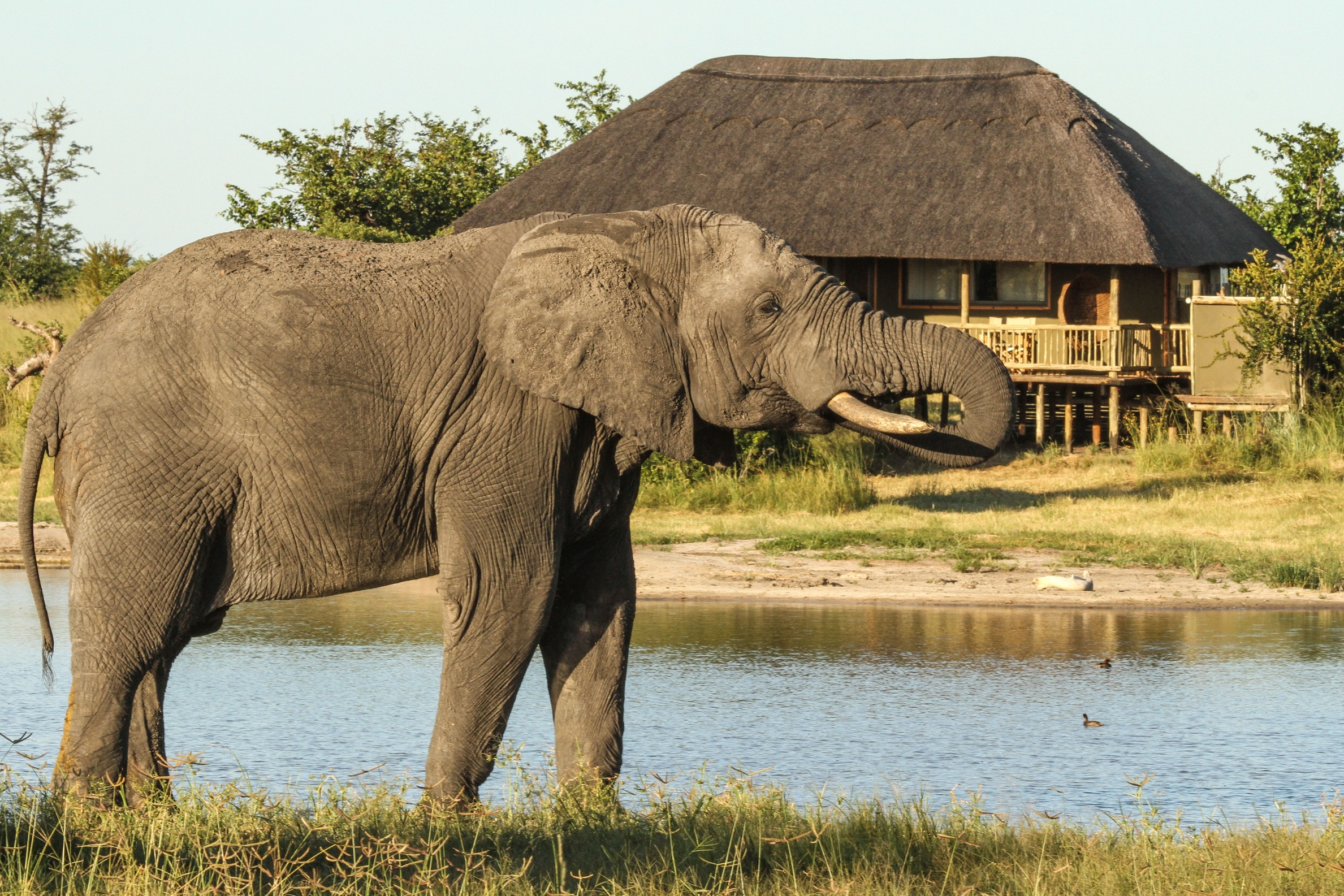 nehimba---elephant-outside-the-thatched-tent.jpg